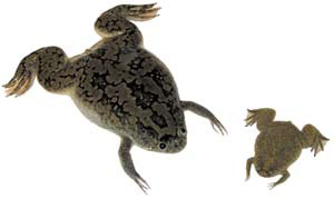 adaptive radiation in amphibians pdf