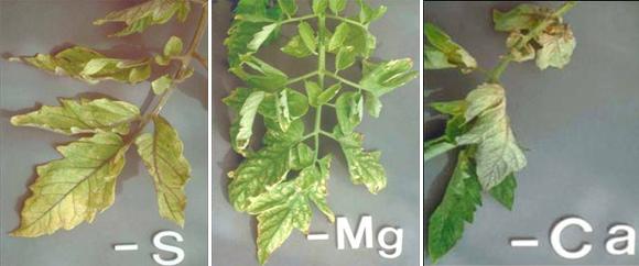 nutrient deficiency symptoms in plants pdf